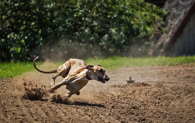 Success Dragon in Vietnam greyhound race mgmt deal
